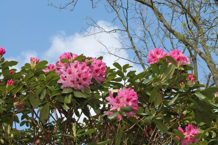 Rhododendron @ Keukenhof