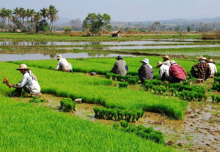 Rijstveld in Chiang Rai