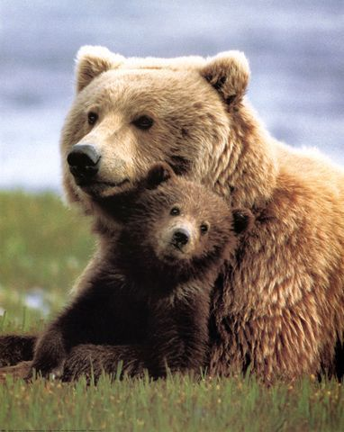 Brown or grizzly bear, the cubs are born from midwinter  and remain in the den until spring. The cubs stay under their mum's care for two to three years. They can have one to four cubs but twins are the most common.