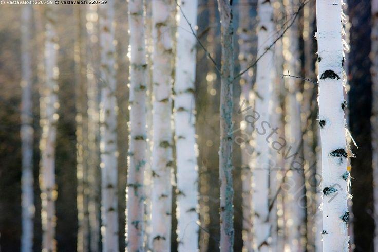 Keväinen koivikko - koivikko koivut puu metsä rungot vastavalo ilta-aurinko uuden alku kevät raikas raikkaus puhtaus luonto metsämaisema maaliskuu suomalaisuus Suomi