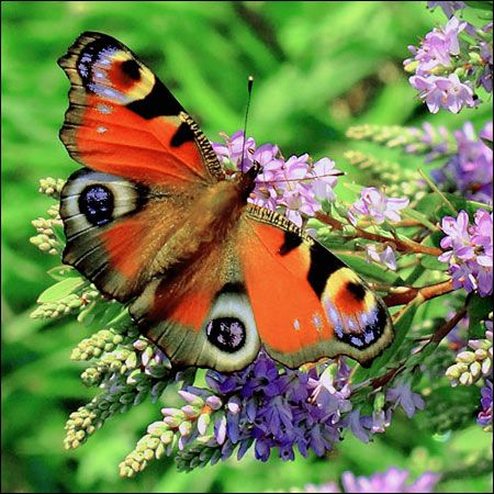 Real Red Butterflies in Nature | Red Admiral Butterfly