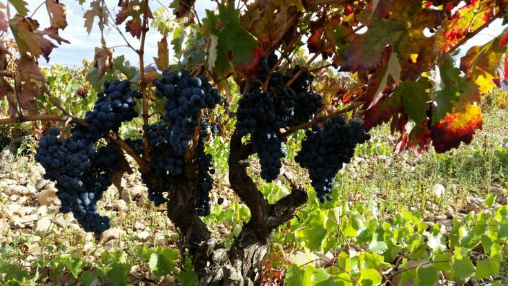 Preciosas uvas / Beautiful grapes