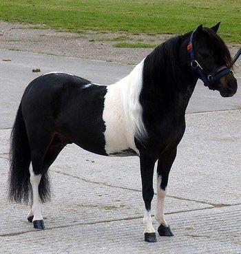 Sweet little black & white pony