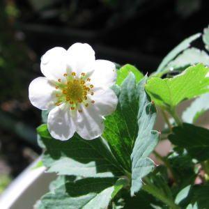 ノウゴウイチゴ 日本原産の野イチゴ