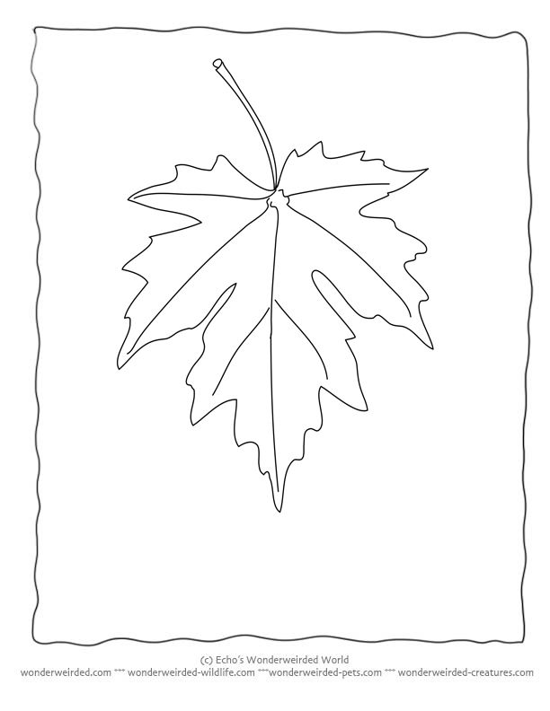 Maple Leaf Coloring Page Our Collecting With Leaves Black And
