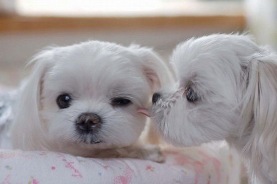 So sweet!Dogs, Little Puppies, Maltese Puppies, I Love You, Sweets Kisses, A Kisses, Puppies Love, Malt Puppies, Animal