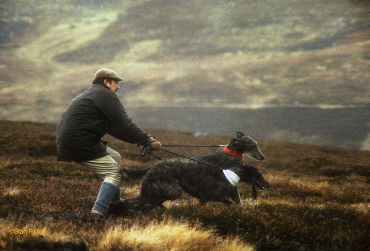 Nothing more decorative than Scottish Deerhounds