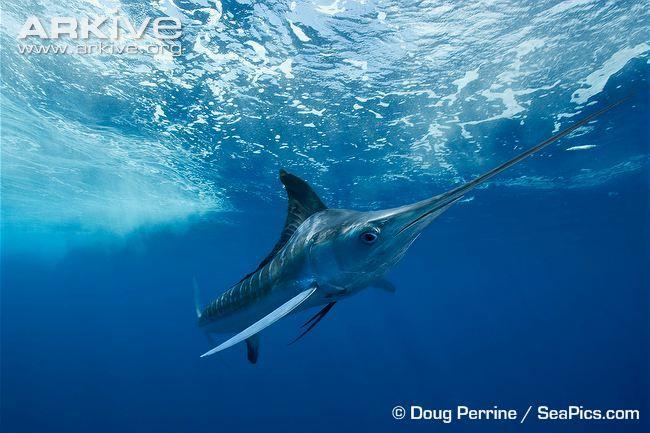 White marlin swimming in ocean habitat | White marlin ...