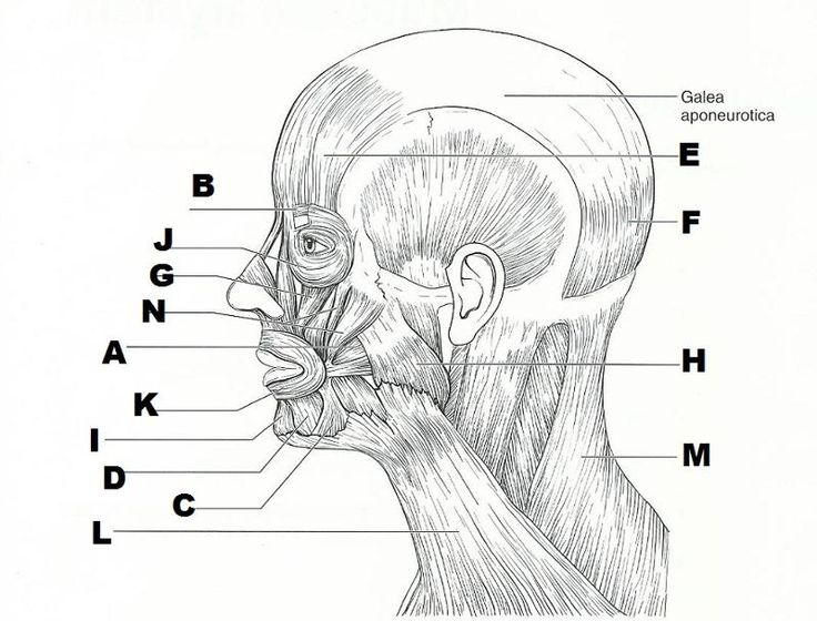 blank diagram of head muscles 25 best images about muscle blank on pinterest study blank diagram of clavicle