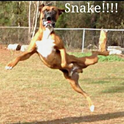 YIKES .... It's a SNAKE!! #Boxer
