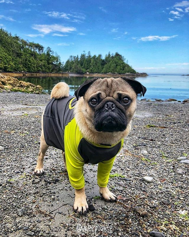Pin By James Roberson On Pugs Cute Pugs