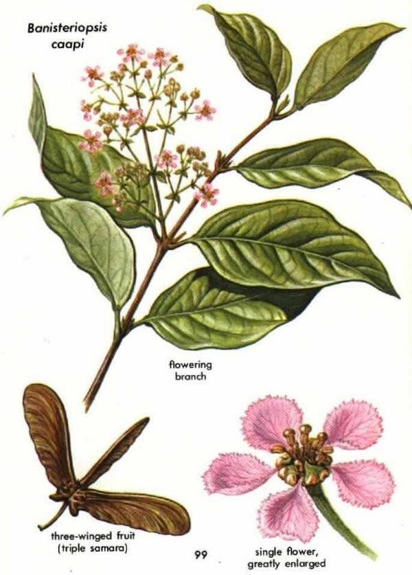 banisteriopsis caapi aka ayahuasca vine.