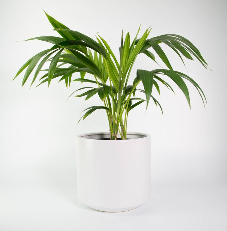 Awesome Create A Tropical Oasis At Home With This Kentia Palm (Howea Forsteriana)  And Its Graceful Fronds. Featured In A Chic White Fredrik Planter