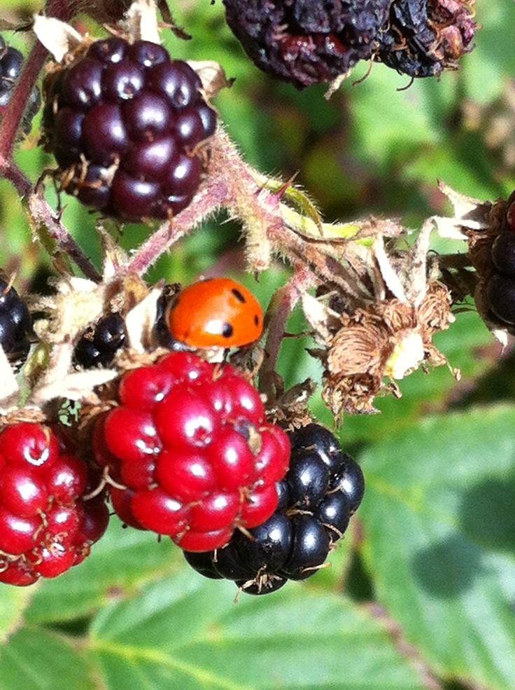 Iadybird on blackberries