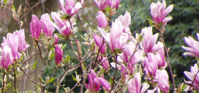 Magnolie 'Susan' als Hochstamm - Magnolia liliiflora 'Susan' -Sth