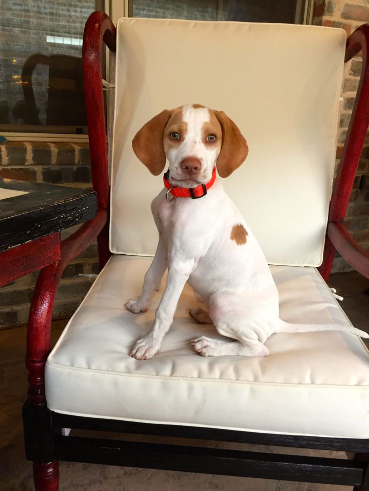 Milo - English Pointer Puppy