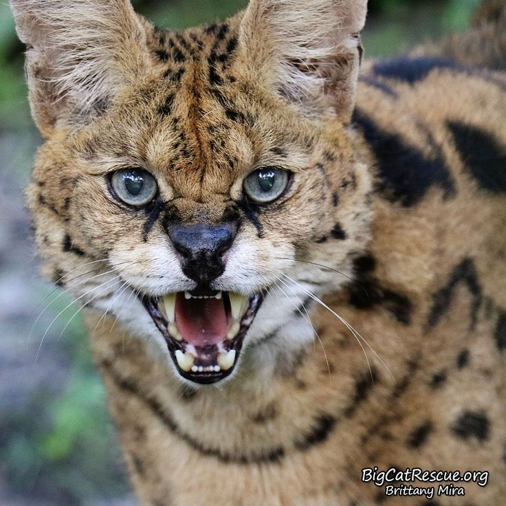 Good night Big Cat Rescue Friends! 🌙 Zimba Serval has an