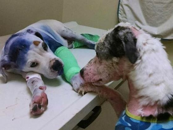 ER funds needed for puppy shot in head & dragged by car!!!!! (Sammie shot in head & dragged by car, but he wouldn't die!!!)