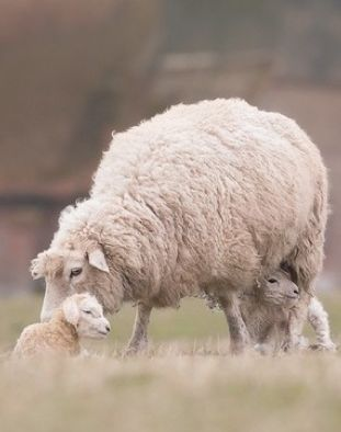 Isaiah 40:11 (KJV) ~ He shall feed His flock like a shepherd: He shall gather the lambs with His arm, and carry them in His bosom, and shall gently lead those that are with young.