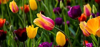 Image result for tulips