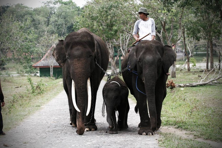 It's a bright morning in Lampung, and this lovely family is bringing their kid to school. Not a regular school, and certainly not a regular family, since the Way Kambas National Park is the education and preservation center for the endangered wild Sumatran Elephants.