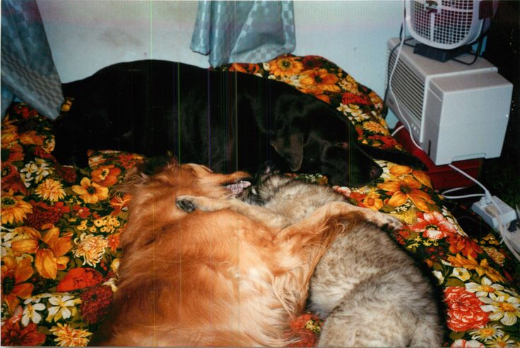For us the three best dog breeds in the world!  Lab, Golden and Leonberger, perfect characters.