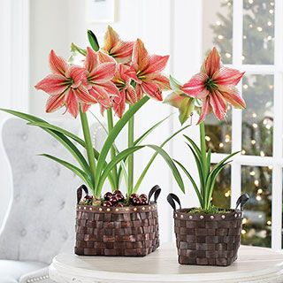 Amaryllis Bulb Gifts: The most popular holiday gift plant! - Jackson & Perkins