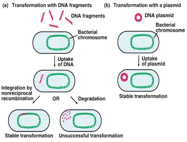 Image result for bacterial transformation