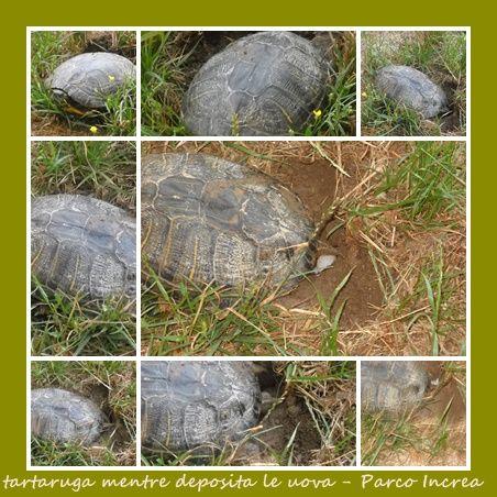 tartaruga fotografata al Parco Increa di Brugherio intanto che depositava le uova.