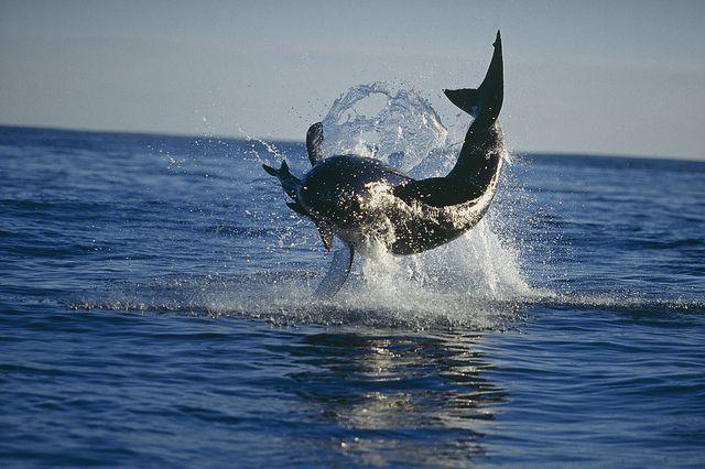"""Great White Shark """"Skyhopping"""""""