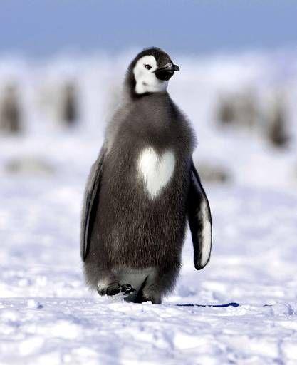 Et pour finir, ce joli petit pingouin qui sans le savoir se voit orner d'un coeur blanc en plein milieu de son torse. La nature fait parfois de drôles de choses mais réserve souvent de jolies surprises.