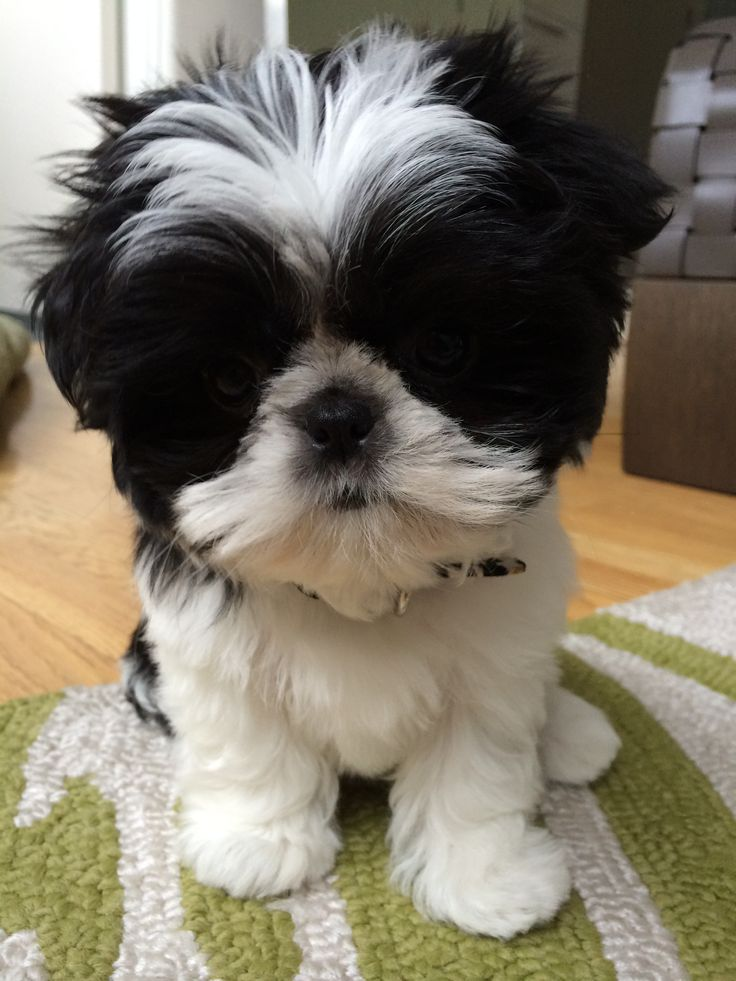 shih tzu toys the 25 best toy shih tzu ideas on pinterest shih tzu 1183