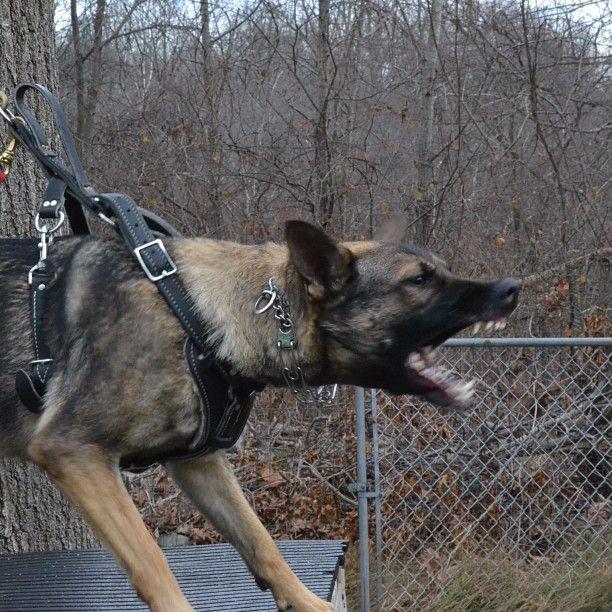 #schutzhund #schutzhund training for German Shepards just like sams sire