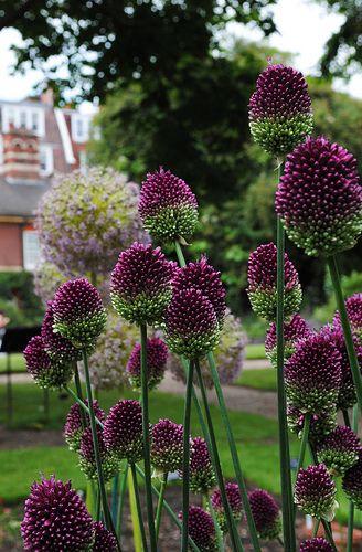Purple Allium Sphaerocephalon