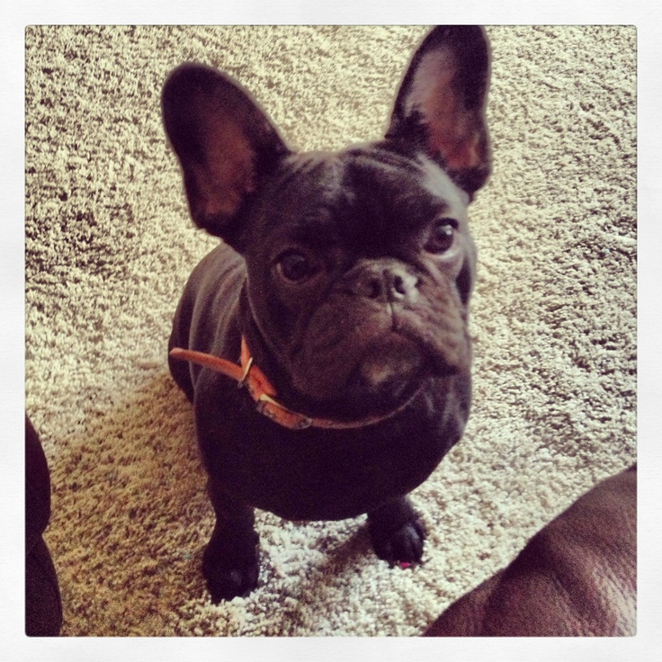 Tippy adopted from French bulldog rescue network. #frenchbulldog #rescued #adopted