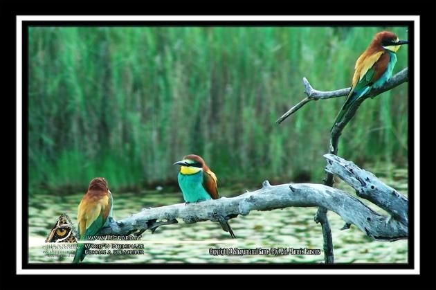 The Birds that Flock Together, Stays most definitely Together - The European Bee-Eater