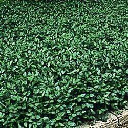 Purple Wintercreeper Evergreen Ground Cover Full Sun To