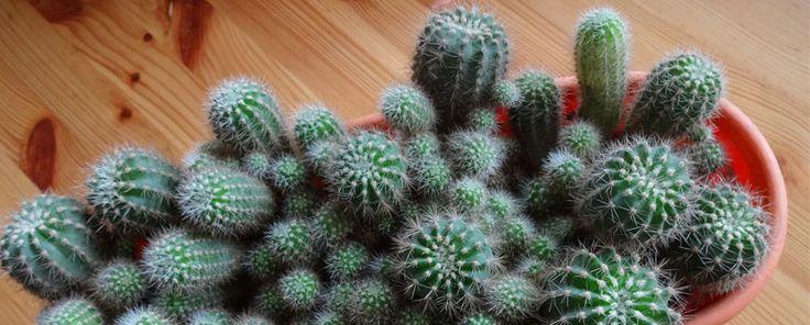 Cuidados cactus