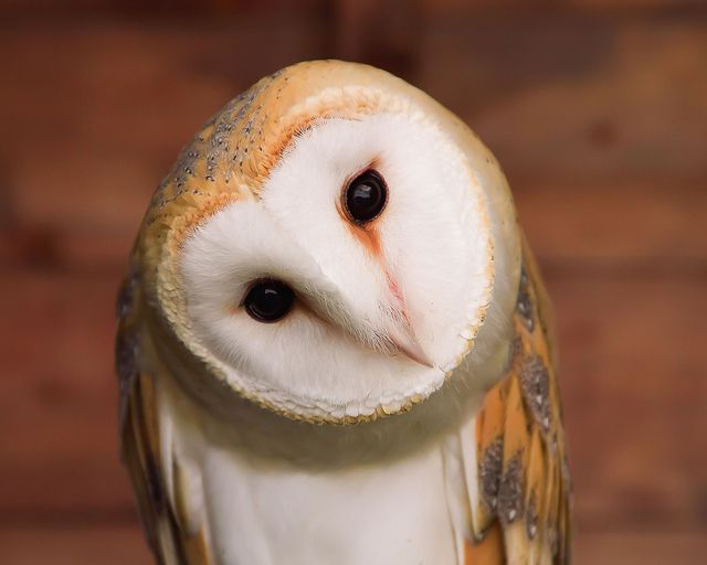"Barn Owl. OWL WISDOM: "" Never get into fights with ugly owls cuz they haz nuthin' to lose."""