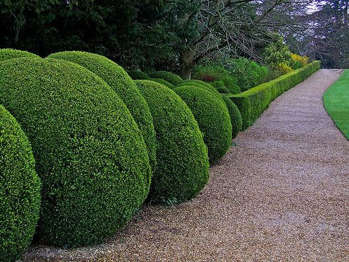 Estate path, again those clipped domes wow factor to any garden!