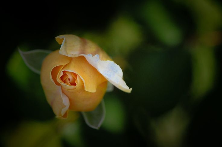 A rose, all wrapped up.
