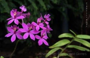 /Flores de orquídea para Vós!
