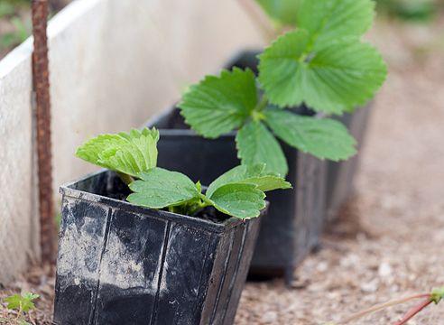 Как выбрать хорошую рассаду клубники
