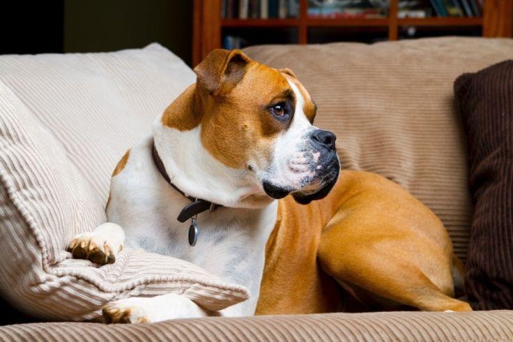 Boxer: o cão é brincalhão, curioso e adora brincadeiras com crianças se acostumado desde filhote. E não se esqueça: passeie com o animal pelo menos duas vezes ao dia para que ele possa se exercitar, gastar energia, brincar e fazer suas necessidades | Fonte: Michelle Claviço, veterinária da Petz/Pet Center Marginal