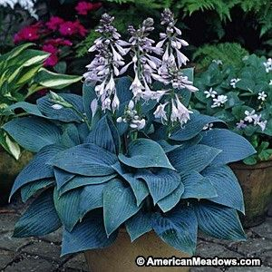 This compact blue-leaved Hosta has heart-shaped, pointed leaves and towers of lavender flowers. A handsome choice for the shade garden. (Hosta)
