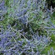 Perovskia 'Blue Spire'. Suitable for Living Wall Sun Loving Plant. Click image to get care advice.     Other names: Perovskia 'Blue Spire', Russian sage 'Blue Spire', Perovskia atriplicifolia 'Blue Spire', Perovskia hybrida 'Blue Spire'    Genus: Perovskia    Variety or cultivar: 'Blue Spire' _ 'Blue Spire' is an erect, deciduous sub-shrub with deeply-divided, aromatic grey-green leaves and large, plumy panicles of violet-blue flowers in late summer and autumn.