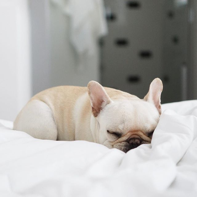 'French Loaf' the French Bulldog Puppy