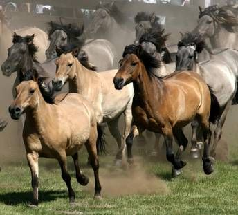 Wild horses in Dulmen, Germany. Every year in May, the horses are rounded up and the young stallions are sold.