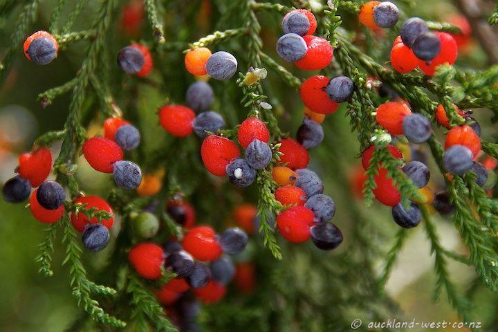 Fruiting Kahikatea