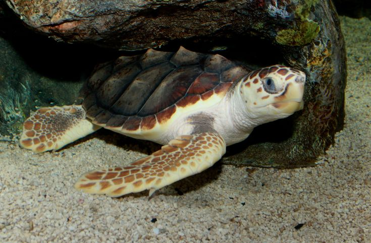 Loggerhead Sea Turtles  One of the larger species of sea turtles, the loggerhead turtle ranges from 200-400 pounds (90 - 180 kg) and up to 4 feet in length (1.2 meters). They occur throughout temperate and tropical regions of the Pacific, Indian, and Atlantic Oceans